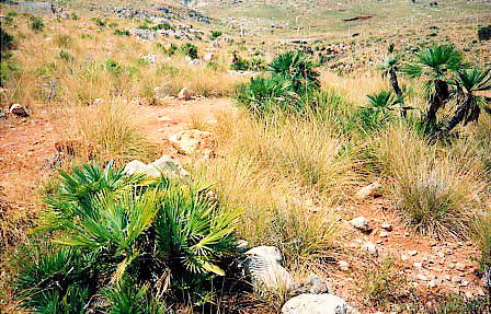 Een mooie natuurlijke omgeven met Chamaerops humilis