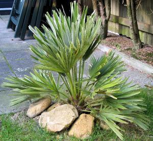 Chamaerops humilis var. vulcano in mijn eigen tuin
