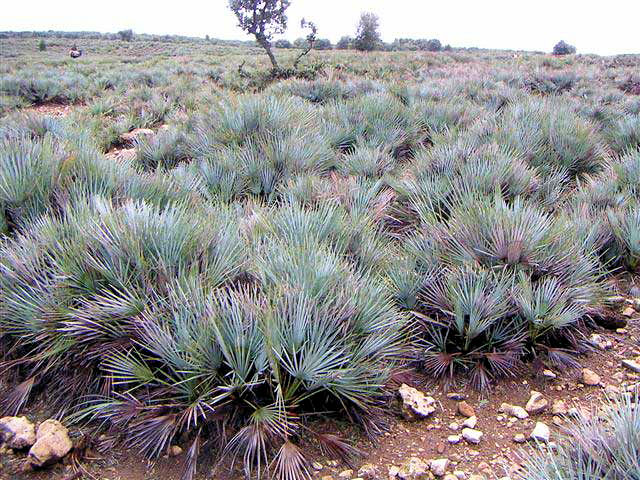 Chamaerops humilis var. cerifera in de natuurlijke biotoop, het Atlas gebergte in Marokko
