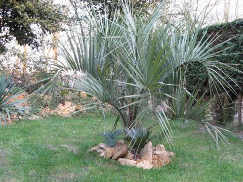 Op 24 februari een paar zonnestraaltjes op de net geplante sabal minor