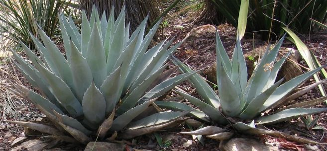 2 prachtige Agave parryi's