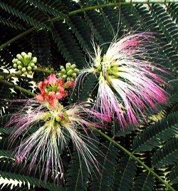 De mooie bloemen van Albizia julibrissin