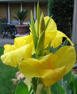De bloem van een Canna uit mijn tuin