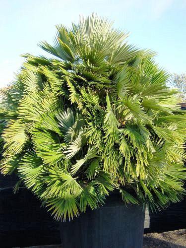 Een hele grote Chamaerops humilis var. vulcano in pot