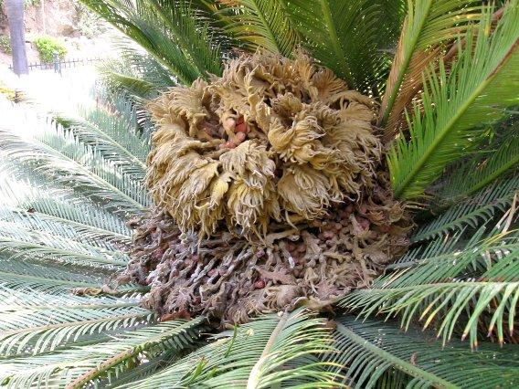 Een vrouwelijke Cycas revoluta met zaden, aan de Cote D' Azur