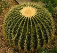 Echinocactus soort