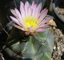 Bloeiwijze Echinocactus