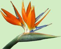 De bloeiwijze van de Strelizia reginae (Paradijsvogelplant) naar rechts