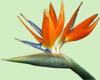 De bloeiwijze van de Strelizia reginae (Paradijsvogelplant) naar links