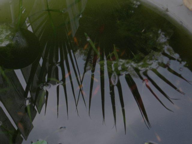 Een herfstvijver met de reflectie van de Brahea armata