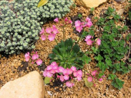 Een mooi bloeiende Bitterkruid plant