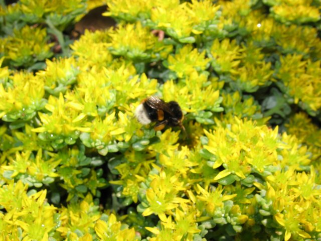 Een lente plaatje met een nectar verzamelende Hommel