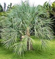 Livistona lorophylla