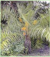 Phoenix acaulis