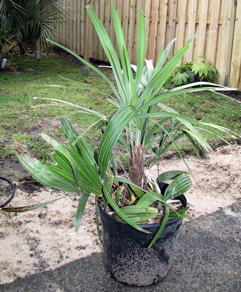 Rhapidophyllum hystrix zijscheuten van mijn eigen palm