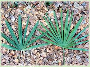 Rhapidophyllum hystrix bladvormen