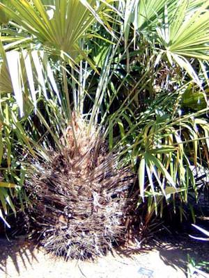 Rhapidophyllum hystrix enkele stam
