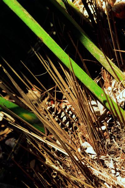 Rhapidophyllum hystrix naalden