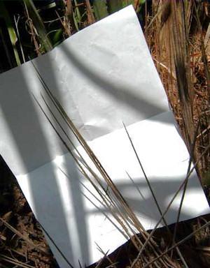 Rhapidophyllum hystrix naalden met a4tje