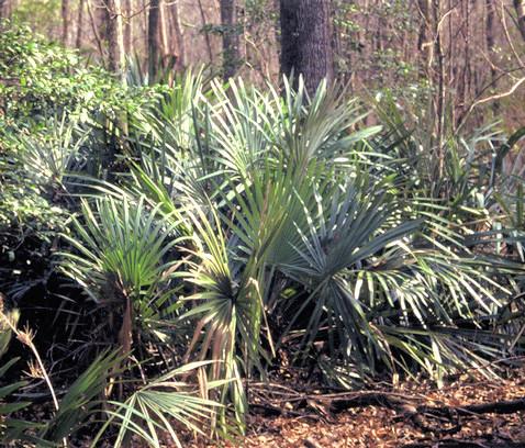Rhapidophyllum hystrix in de natuur