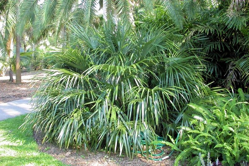 Rhapidophyllum hystrix op subtropische lokatie