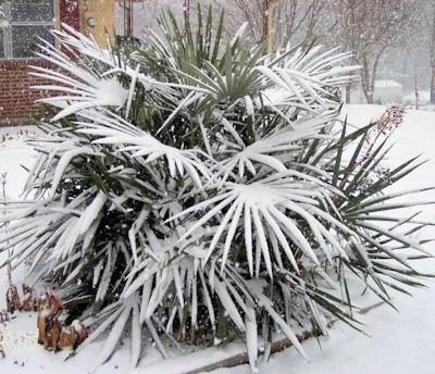 Rhapidophyllum hystrix in de winter