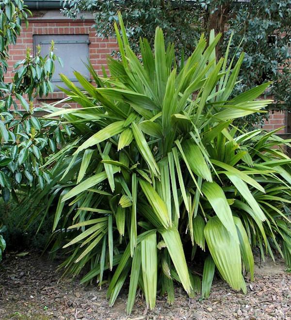 Rhapidophyllum hystrix hele breede bladsegmenten