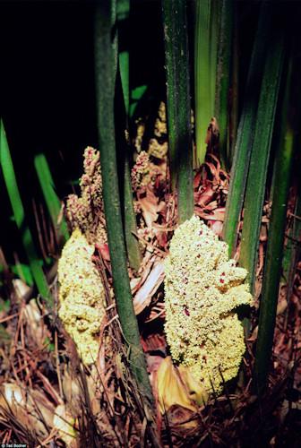 Rhapidophyllum hystrix mannelijke plant