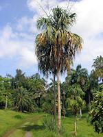 Sabal mauritiiformis