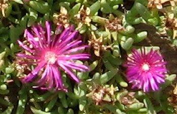 Closeup van de bloemen en bladeren van Delosperma