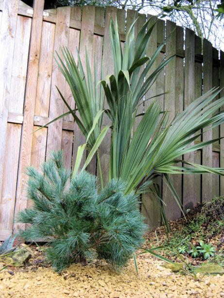 De Pinus strobus
