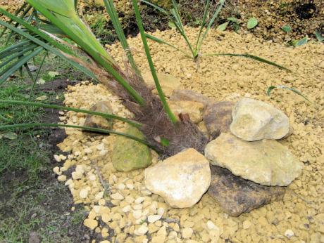 De Trachycarpus fortunei is met opzet scheef aangeplant