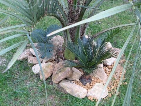 Een Cycas revoluta experiment