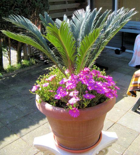 Mooi bloeiende vetplantjes rondom de Cycas revoluta
