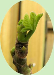 De Ficus carica begint uit te lopen