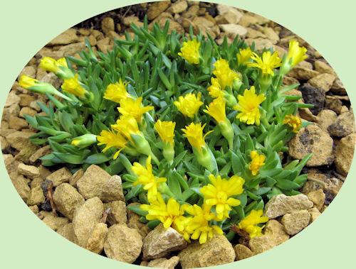 Deze nieuwe Deleosperma bloeit mooi geel