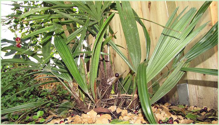 Hier zijn mooi de zijscheuten te zien van de  Rhapidophyllum hystrix.