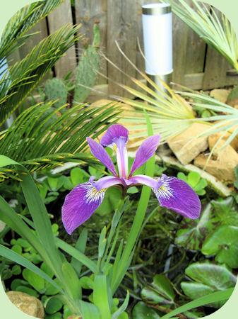 Deze Iris bloeit prachtig!