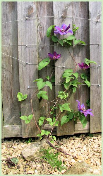 De paars bloeiende Clematis