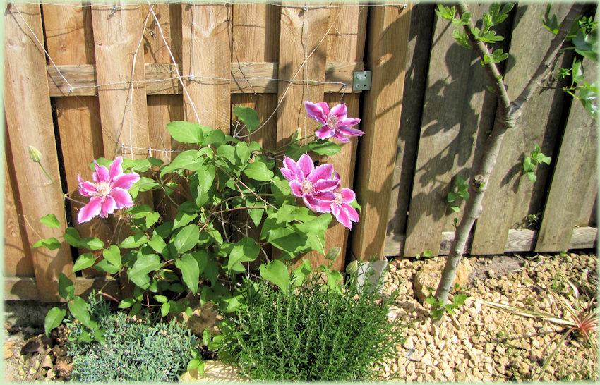 Rose bloeiende Clematis