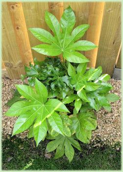 Mooi groen van de Fatsia japonica