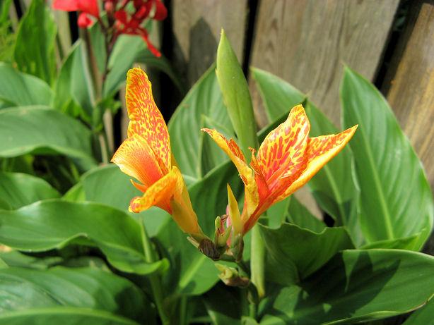 2 kleurige Canna bloemen zijn ook heel mooi!