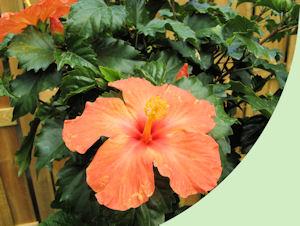 Een stropische Hibiscus is altijd mooi in de tuin