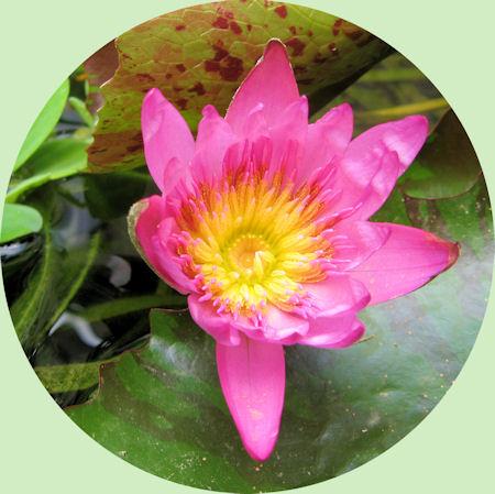 De geweldig mooie bloem van de Nymphaea capensis
