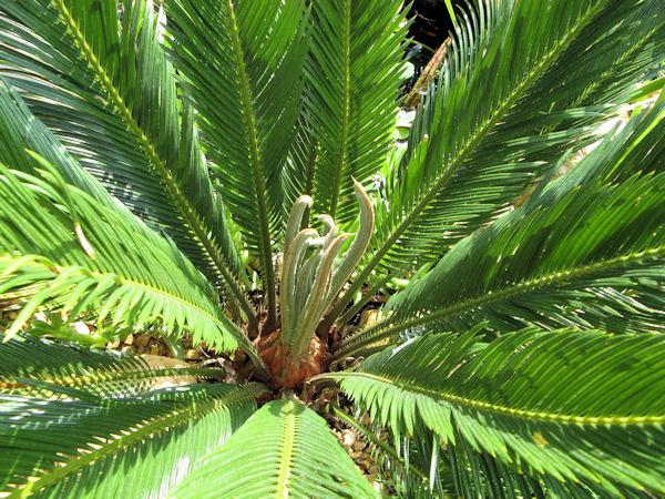 De Cycas revoluta maakt nieuwe bladeren aan, een teken dat deze plant goed is aangeslagen