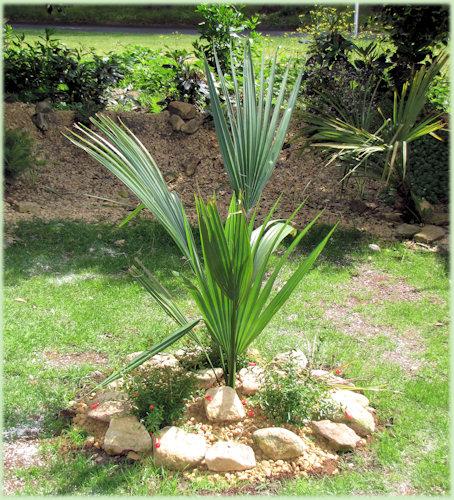De nieuwe Sabal palmetto