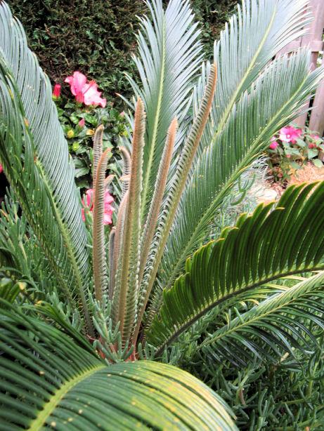 De Cycas revoluta maakt nieuwe bladeren aan