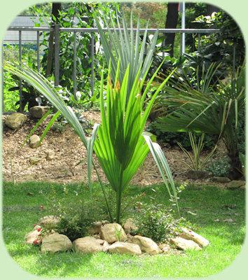 De nieuwe Sabal palmetto heeft een nieuw blad gemaakt