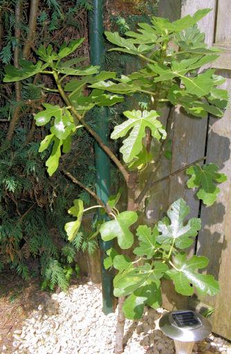 De Ficus carica (gewone vijg) doet het prima