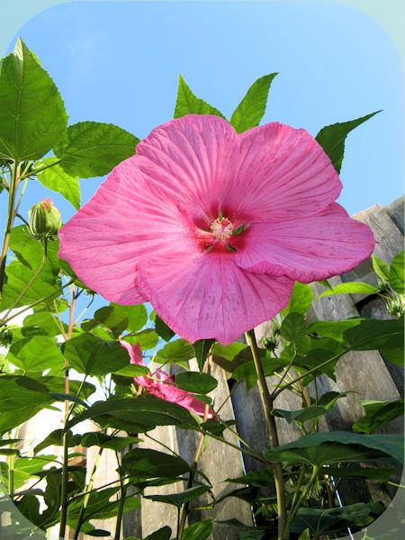 De geweldig mooie en grote bloem van de Hibiscus Newbiscus Mauvelous